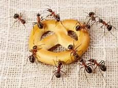 was hilft gegen ameisen in der wohnung ameisen im haus was tun welche hausmittel helfen wie
