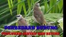 Perbedaan Burung Trucukan Jantan Dan Betina