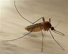 mücken im zimmer finden tips gegen insekten homepage of max w lehmann ch 4102