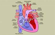 Bagian Jantung Yang Kaya Akan Oksigen Berbagai Bagian