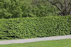 Schnellwachsende Hecke Immergrün - buchenhecke pflanzen pflege und schneiden gartendialog de
