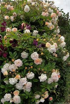 269 Best Climbing Rambling Roses Images On