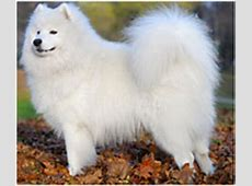 Samoyed Dog Breed   Facts and Personality Traits   Hill's Pet