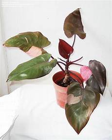 Plantfiles Pictures Blushing Philodendron Leaf