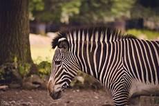 zebra bild zebra foto bild animals wildlife wildlife misc