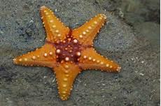 Bagian Tubuh Bintang Laut Dan Fungsinya Berbagai Bagian