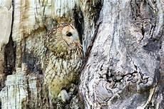 Gambar Burung Hantu Di Pohon Gambar Burung Hantu