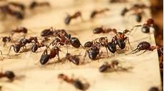 ameisen in der wohnung bekämpfen erkennen freund und feind ameisen haben feine nasen