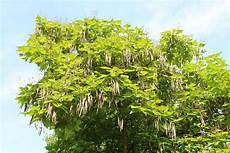 Gew 246 Hnlicher Trompetenbaum Catalpa Bignonioides Pflege