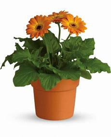Gerbera Plant Plantslive Buy Plants India