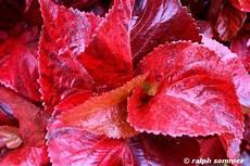 pflanze rote blüte pflanzen in myanmar fotos und bilder