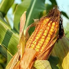 Mais Basisch N 228 Hrwerte Rezepte S 228 Uregehalt Mais