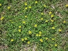 bodendecker gelb winterhart begehbare bodendecker rasenersatz hornfr 252 chtige sauerklee