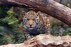 jaguar animal facts and information