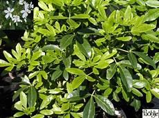immer grüner strauch choisya ternata orangenblume immergr 252 n duftend