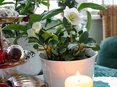 Christrose Im Zimmer - 7 weihnachtspflanzen und wie sie pflegt biog 228 rtner