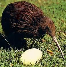 M Ardhito Adipradana Burung Kiwi