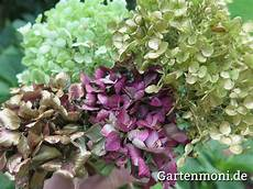 wie trocknet hortensien hortensien trocknen und verzieren gartenmoni altes