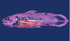 voile au poumon image issue du scanner ctscan d un coelacanthe