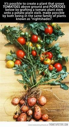 kartoffel tomaten pflanze amazing tomato potato plant awesome trees and plants