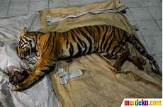 Foto Harimau Jantan Mati Terjerat Tali Baja Di Riau