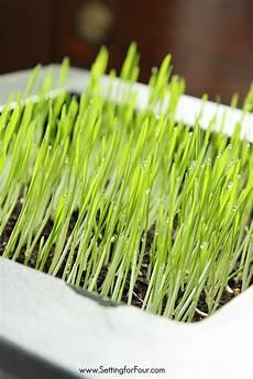 how to grow wheatgrass indoor gardening and decor idea