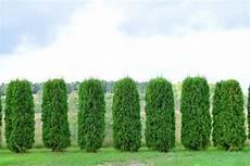 Thuja Pflanzen 187 Welcher Abstand Ist Einzuhalten Lebensbaum
