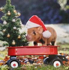 merry christmas pig pictures merry christmas i