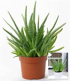 Echter Zimmerpflanze Kaufen - aloe vera groene planten bij baldur nederland