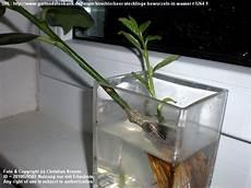 kirschlorbeer vermehren pflanzen f 252 r nassen boden