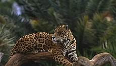 jaguar information for what do jaguars do all day animals me