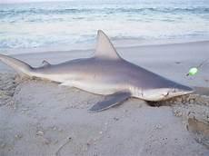 Gambar Jual Poster 17021722 Ikan Laut Hiu Lapak Premium