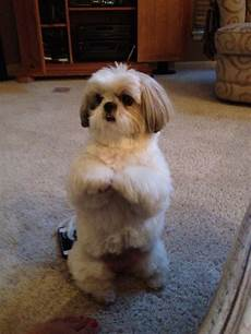 click visit site and check out cool quot shih tzu quot t shirts