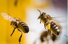 steckbrief die honigbiene bienen ein flei 223 iges