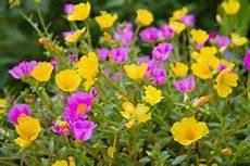 Blumen Sonniger Standort - portulakr 246 schen f 252 r sonnige standorte und trockenen boden