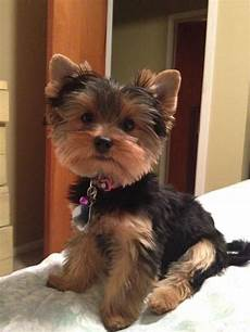 favorite picture love all pictures of these precious babies yorkshire terrier puppies