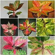 jual paket 7 bunga aglonema bermacam macam jenis di lapak kebun bibit unggul geraibibit