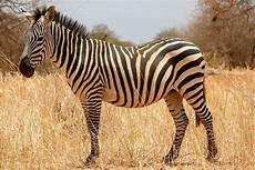 zebra bild zebras wikipedia