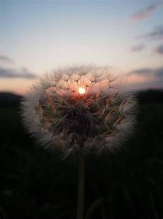 wallpaper iphone aesthetic nature sunset dandelion aesthetic kh superbia nature