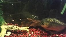 piranhas essen goldfisch