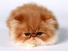 gatti persiani immagini redirecting to post 444766 razze di gatti la fotogallery