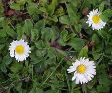 heil und kräuterpflanzen mit kleinen blättern das g 228 nsebl 252 mchen als heil und w 252 rzkraut