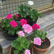 paket tanaman hias geranium 2 pcs warna bunga bisa dipilih shopee indonesia