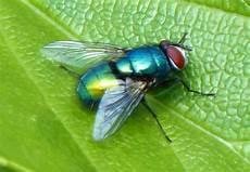 Lalat Hijau Ciri Ciri Dan Bahayanya Saat Masuk Rumah Fumida