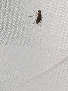 kleine fliegen in der wohnung welche insekten sind das