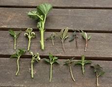 stecklinge machen sie mehr aus ihren lieblingspflanzen