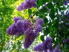 lilac tree lilac tree with flowers syringa vulgaris