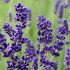 Buy Lavender Lavandula Angustifolia Imperial Gem