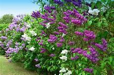 flieder pflanzen schneiden und vermehren das haus