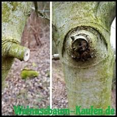 Alten Walnussbaum Schneiden So Wird S Gemacht